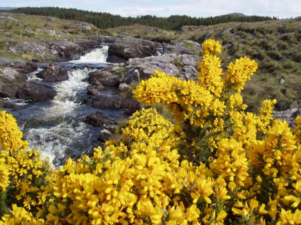 Gorse in Connemara